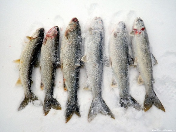 Lake trout for Ice fishing for trout